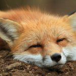 Perché le volpi in Giappone sono venerate?